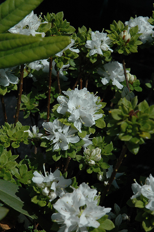 White Kyushu Azalea (Rhododendron kiusianum 'Album') at Weston Nurseries