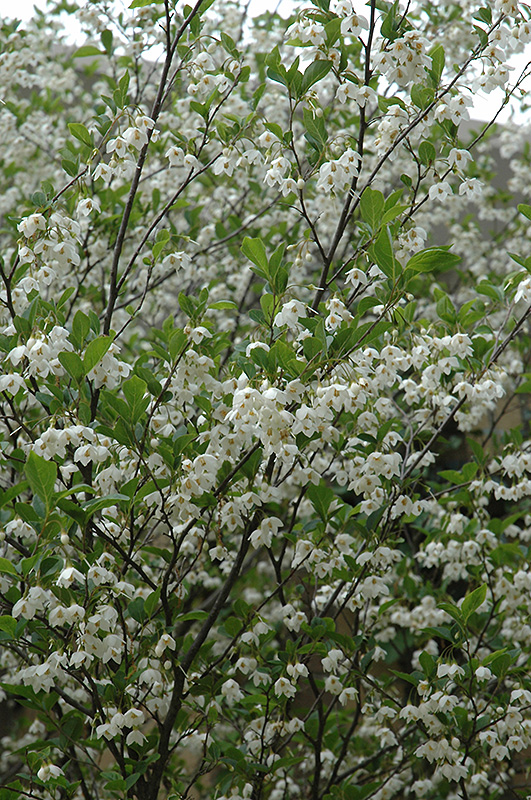 Snowcone Japanese Snowbell (Styrax japonicus 'JFS-D') in Boston Hopkinton Chelmsford ... - photo#7