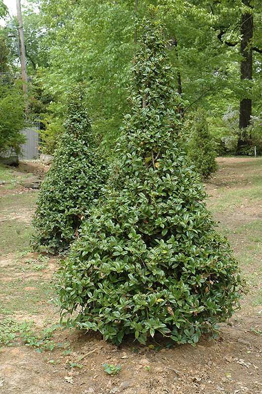 Castle Spire Meserve Holly (Ilex x meserveae 'Hachfee') at Weston Nurseries