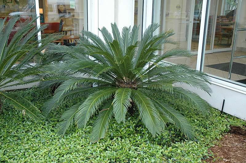 Japanese Sago Palm Cycas Revoluta In Boston Hopkinton