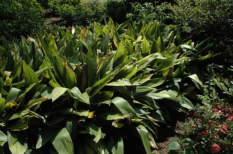 Cast Iron Plant (Aspidistra elatior) at Weston Nurseries