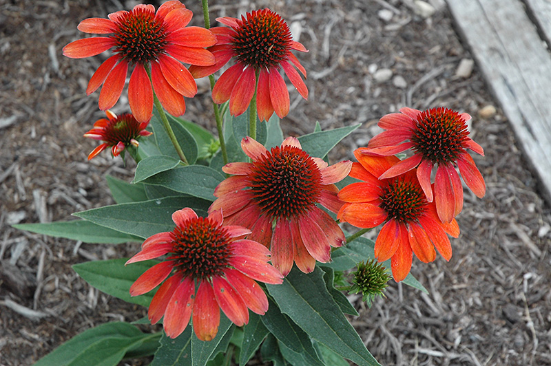 Sombrero Flamenco Orange Coneflower (Echinacea 'Balsomenco') at Weston Nurseries
