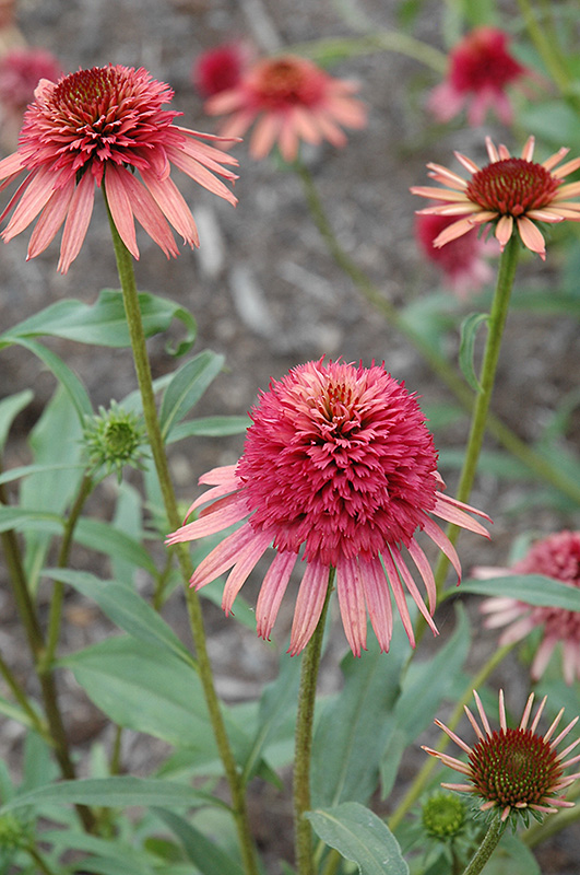 Irresistible Coneflower (Echinacea 'Irresistible') at Weston Nurseries