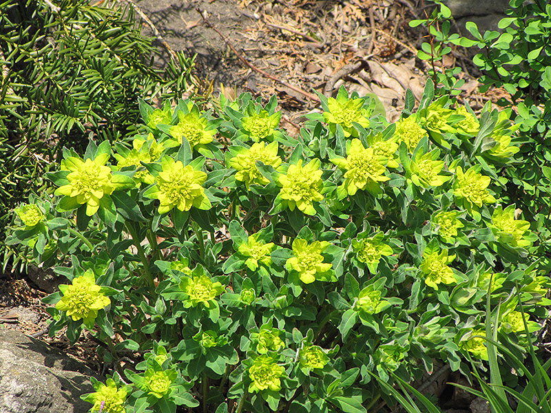 Cushion Spurge (Euphorbia epithymoides) at Weston Nurseries
