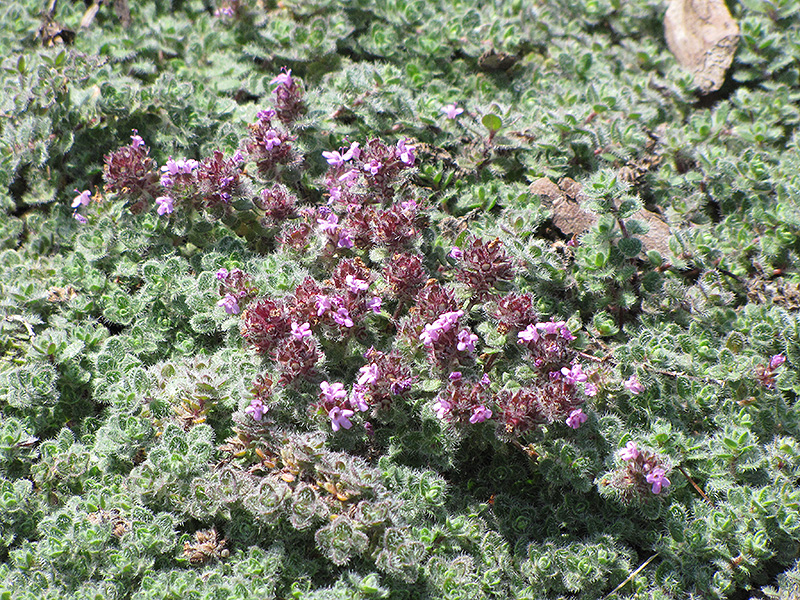 Wooly Thyme (Thymus pseudolanuginosis) at Weston Nurseries