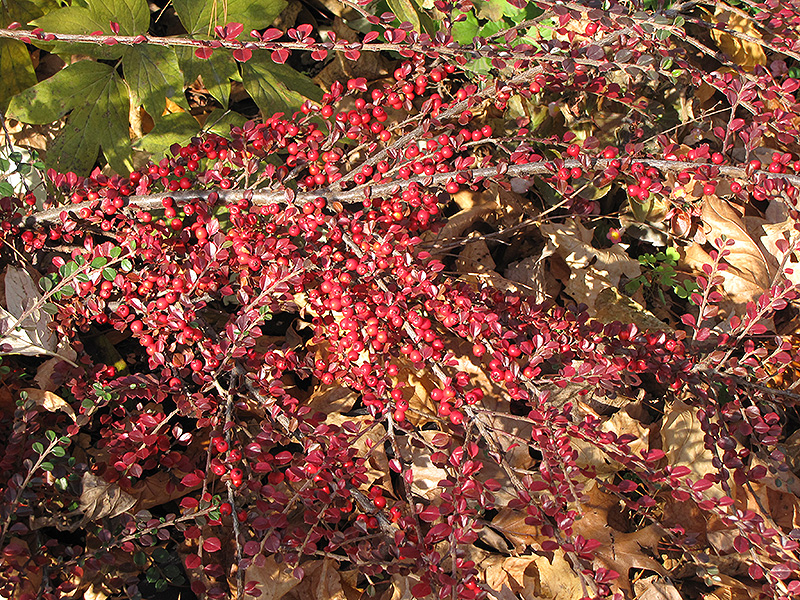 Ground Cotoneaster (Cotoneaster horizontalis) at Weston Nurseries