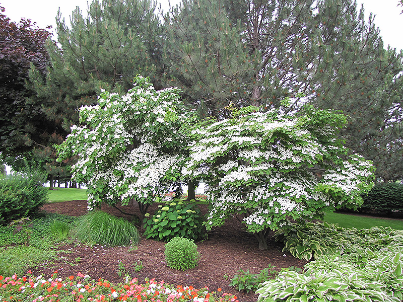 Chinese Dogwood (Cornus kousa 'var. chinensis') at Weston Nurseries