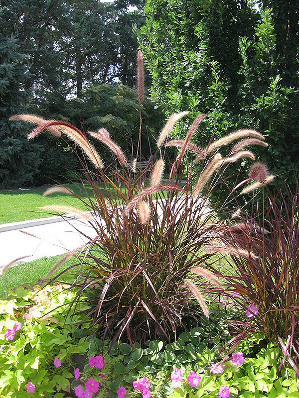 Purple Fountain Grass (Pennisetum setaceum 'Rubrum') at Weston Nurseries