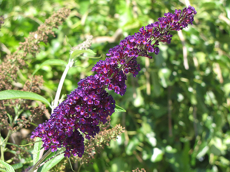 Black Knight Butterfly Bush (Buddleia davidii 'Black Knight') at Weston Nurseries