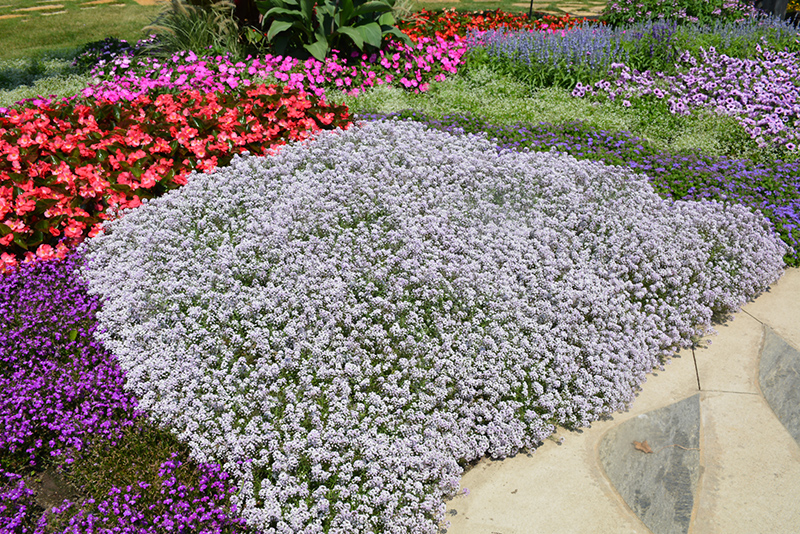 Blushing Princess Sweet Alyssum (Lobularia 'Blushing Princess') at Weston Nurseries