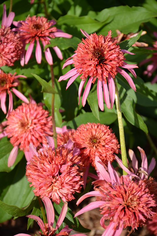 Cone-fections Guava Ice Coneflower (Echinacea 'Guava Ice') at Weston Nurseries