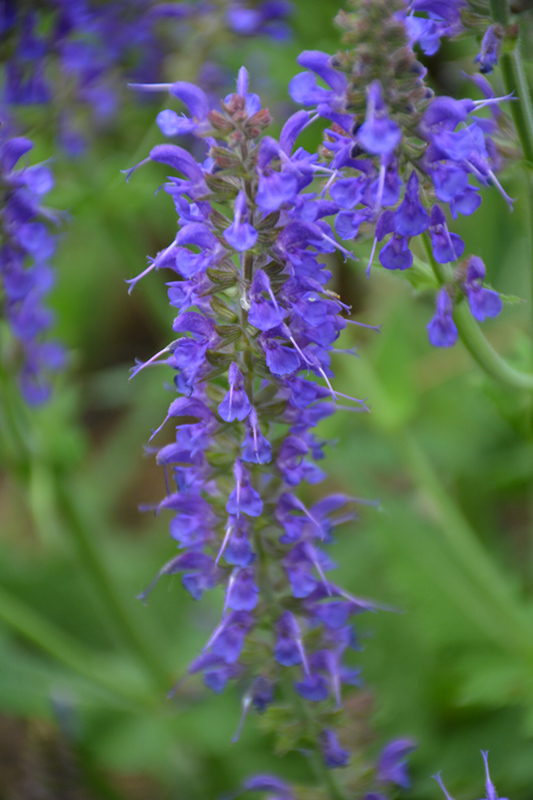May Night Sage (Salvia x sylvestris 'May Night') at Weston Nurseries