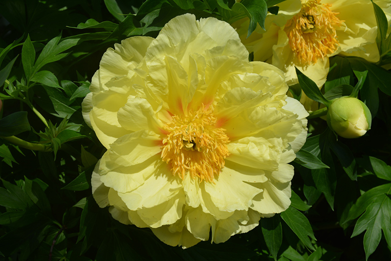 Sequestered Sunshine Peony (Paeonia 'Sequestered Sunshine') at Weston Nurseries