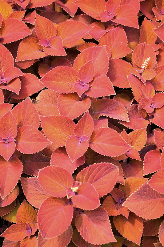 ColorBlaze Sedona Sunset Coleus (Solenostemon scutellarioides 'Sedona Sunset') at Weston Nurseries