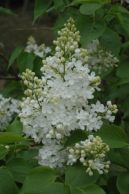 Betsy Ross Lilac (Syringa 'Betsy Ross') at Weston Nurseries