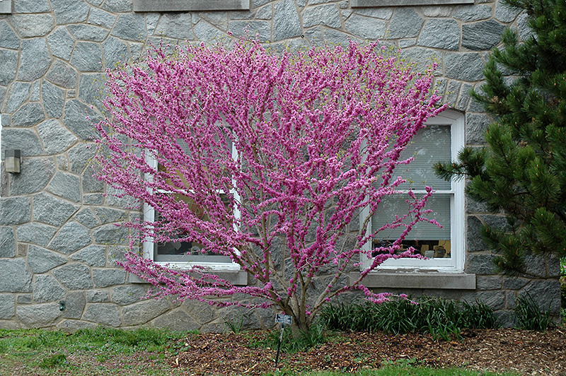 Don Egolf Miniature Redbud (Cercis chinensis 'Don Egolf') at Weston Nurseries