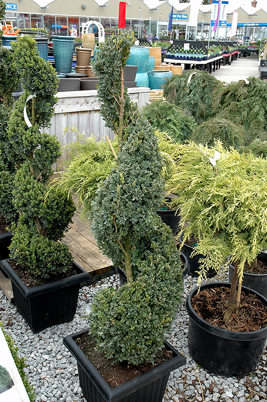 Green Mountain Boxwood (spiral form) (Buxus 'Green Mountain (spiral)') at Weston Nurseries