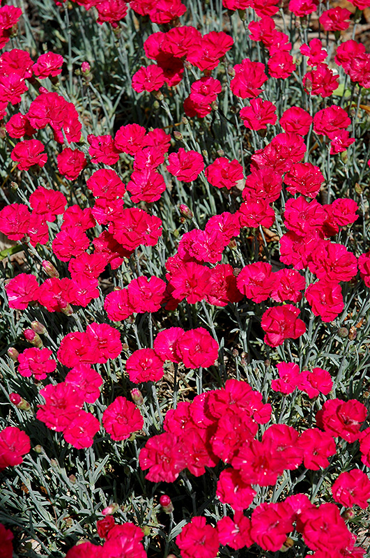 Frosty Fire Pinks (Dianthus 'Frosty Fire') at Weston Nurseries