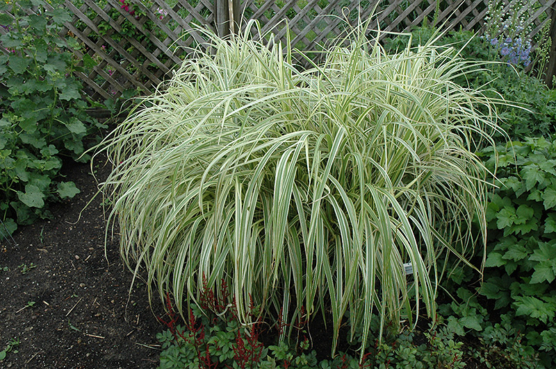 Dixieland Maiden Grass (Miscanthus sinensis 'Dixieland') at Weston Nurseries