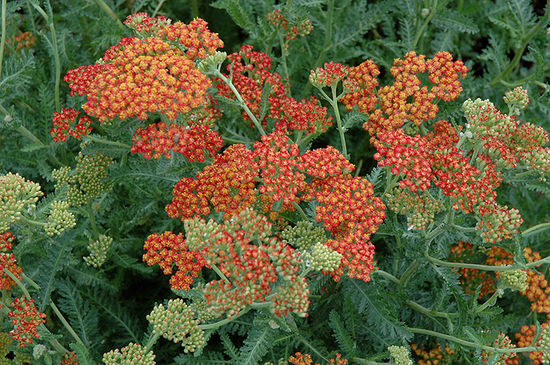 Fireland Yarrow (Achillea millefolium 'Fireland') at Weston Nurseries