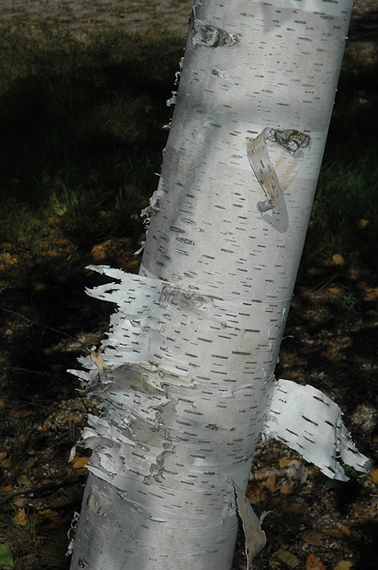 Paper Birch (Betula papyrifera) at Weston Nurseries