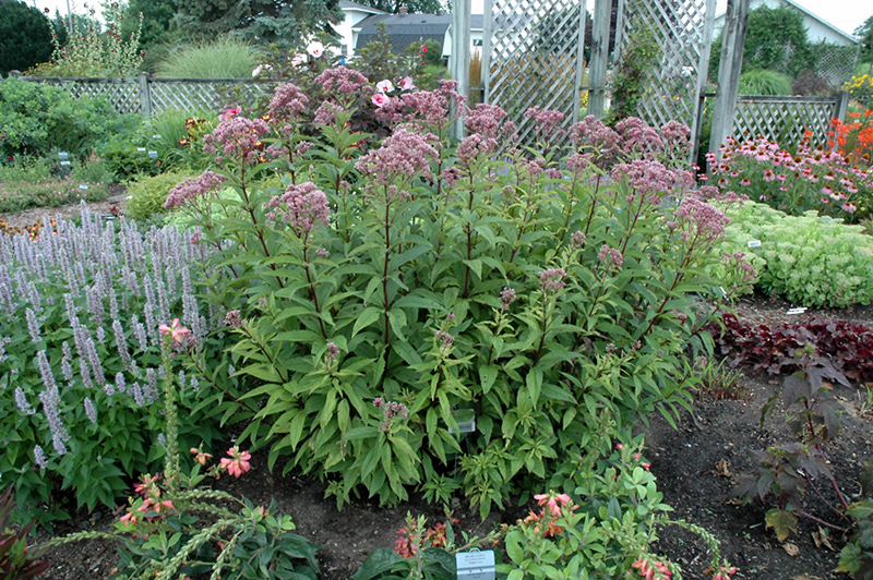 Baby Joe Dwarf Joe Pye Weed (Eupatorium dubium 'Baby Joe') at Weston Nurseries