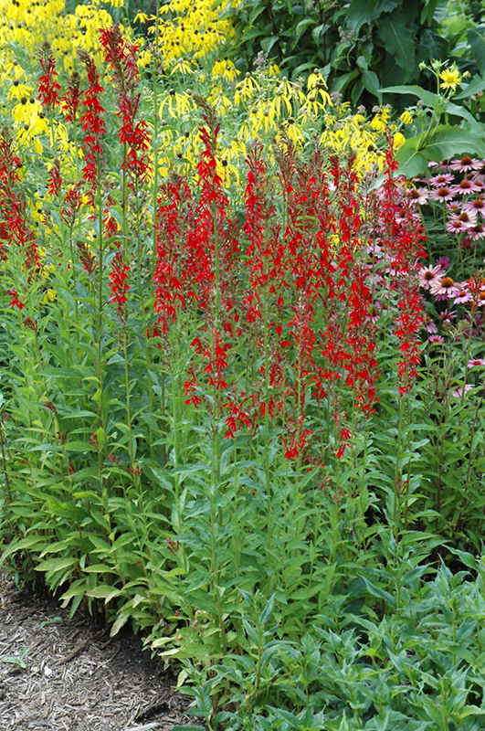 Cardinal Flower (Lobelia cardinalis) at Weston Nurseries