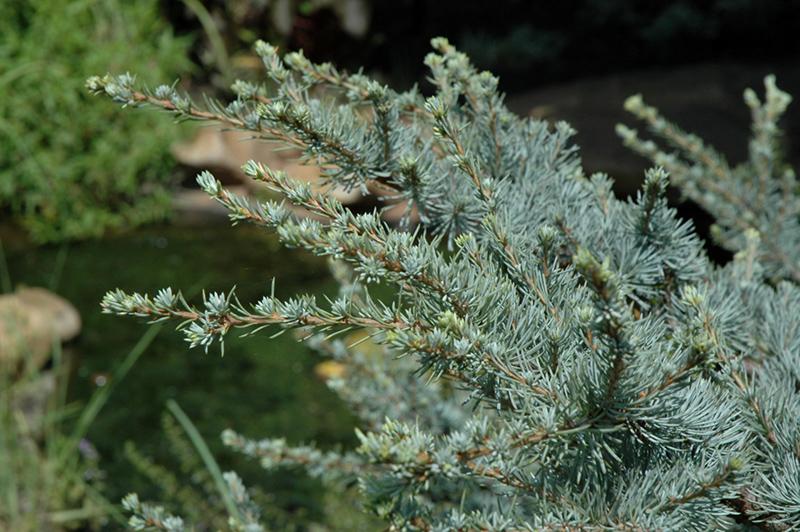 Horstmann Blue Atlas Cedar Cedrus Atlantica In