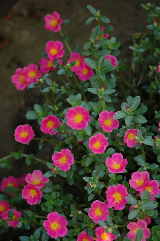 Mojave Pink Portulaca (Portulaca grandiflora 'Mojave Pink ...
