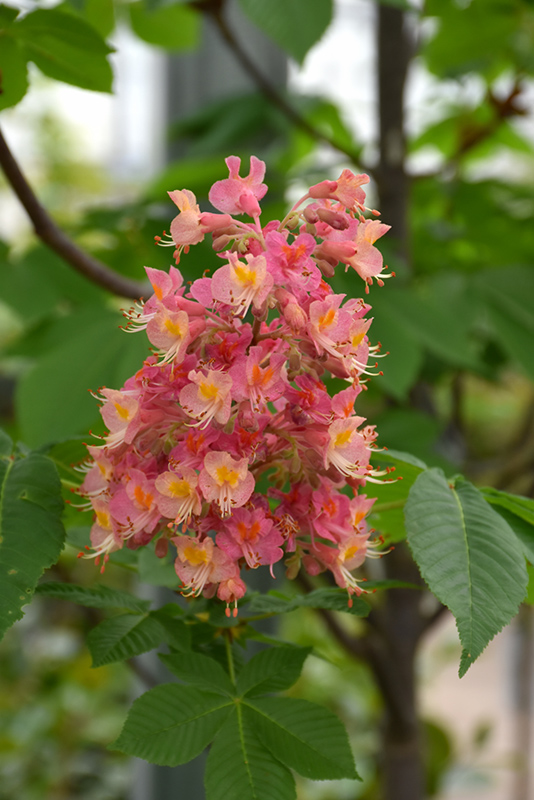Fort McNair Red Horse Chestnut (Aesculus x carnea 'Fort McNair') at Weston Nurseries