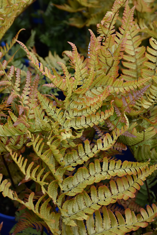 Brilliance Autumn Fern (Dryopteris erythrosora 'Brilliance') at Weston Nurseries