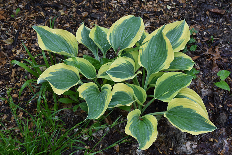 Liberty Hosta (Hosta 'Liberty') at Weston Nurseries