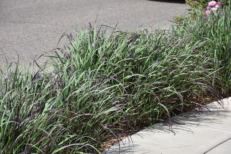 Ruby Ribbons Switch Grass (Panicum virgatum 'Ruby Ribbons') at Weston Nurseries