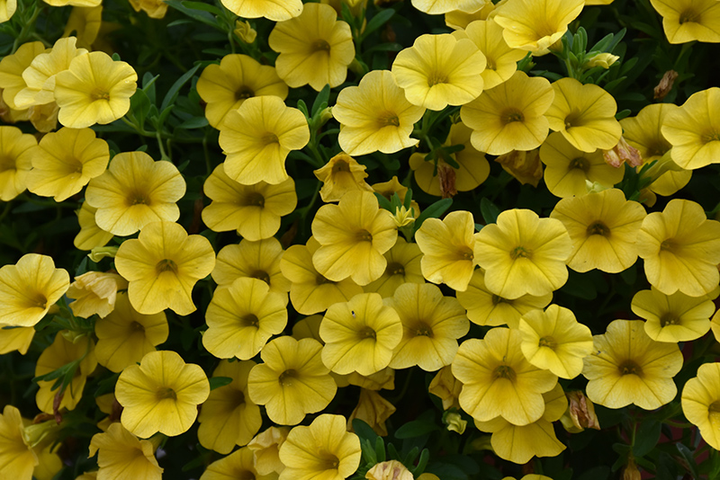 Superbells Yellow Calibrachoa (Calibrachoa 'Superbells Yellow') at Weston Nurseries