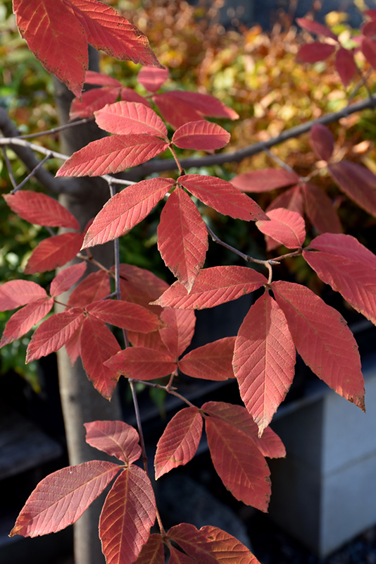 Nikko Maple (Acer maximowiczianum) at Weston Nurseries