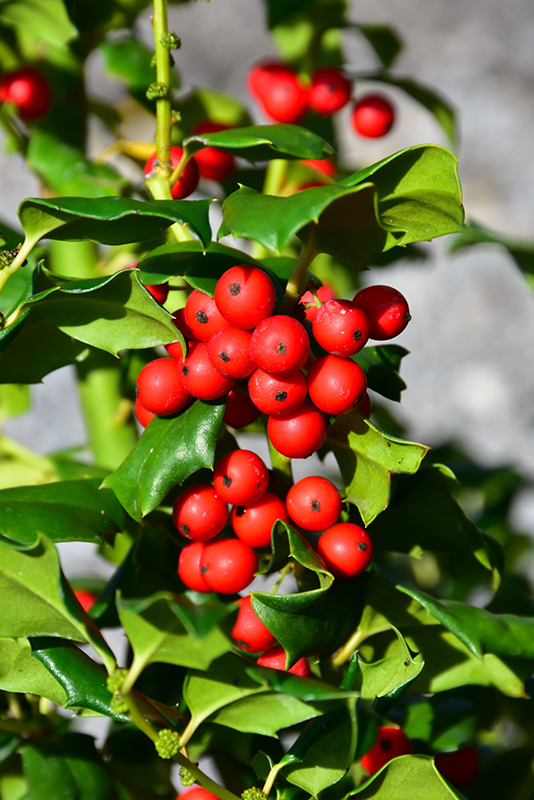 China Girl Meserve Holly Ilex X Meserveae China Girl