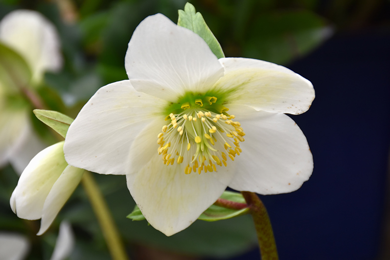 Christmas Rose (Helleborus niger) at Weston Nurseries