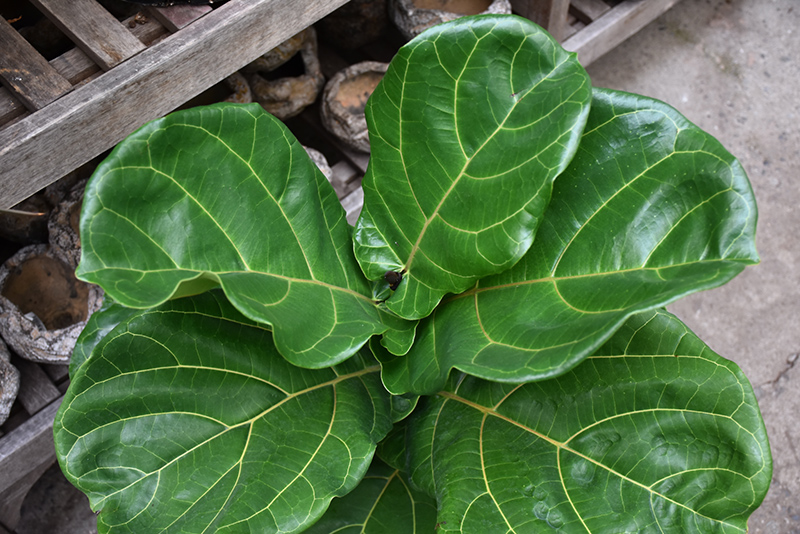 Fiddle Leaf Fig Ficus Lyrata At Weston Nurseries