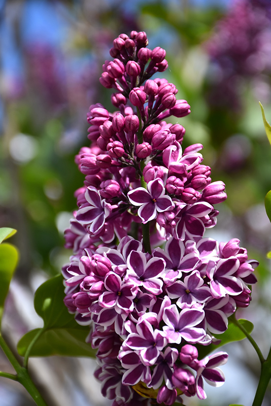 Sensation Lilac (Syringa vulgaris 'Sensation') at Weston Nurseries