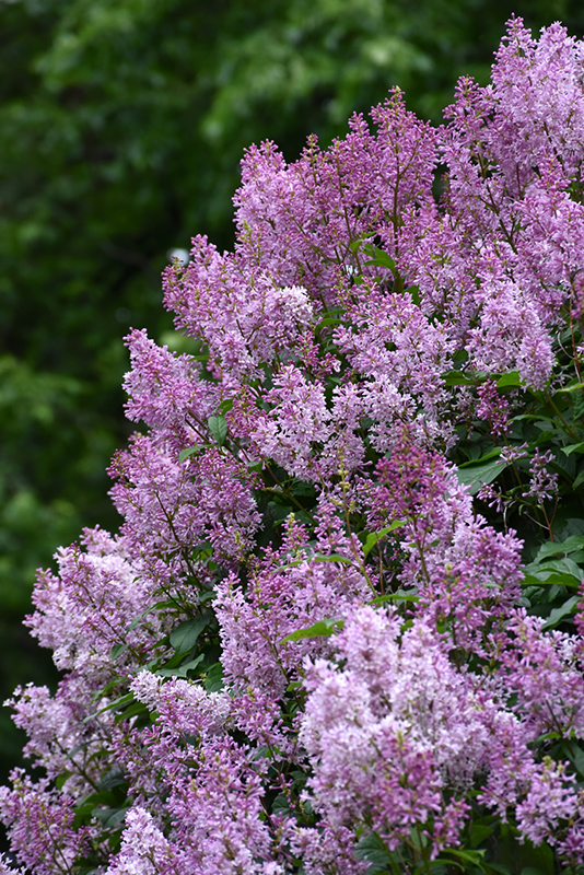 Donald Wyman Lilac (Syringa x prestoniae 'Donald Wyman') at Weston Nurseries