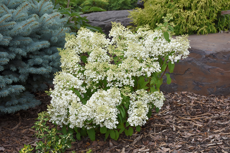 Bobo Hydrangea (Hydrangea paniculata 'ILVOBO') at Weston Nurseries