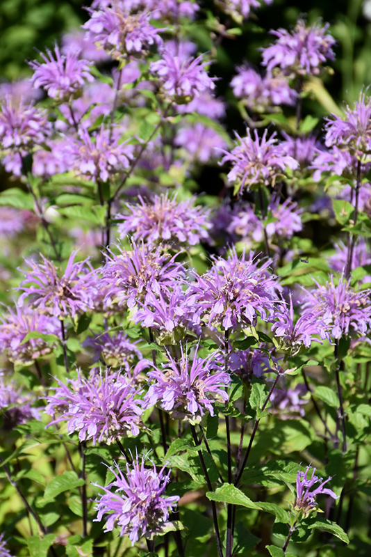 Blue Stocking Beebalm (Monarda didyma 'Blue Stocking') at Weston Nurseries