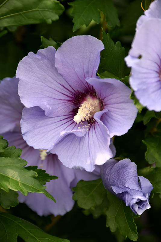 Blue Satin Rose of Sharon (Hibiscus syriacus 'Marina') at Weston Nurseries