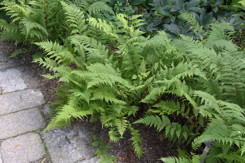 Lady in Red Fern (Athyrium filix-femina 'Lady in Red') at Weston Nurseries