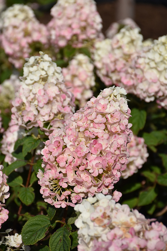 Strawberry Sundae Hydrangea (Hydrangea paniculata 'Rensun') at Weston Nurseries
