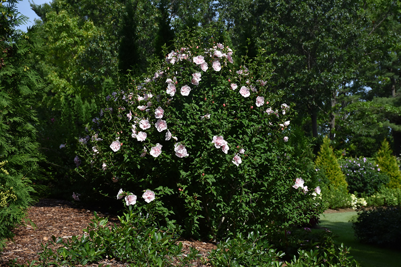 Pink Chiffon Rose of Sharon (Hibiscus syriacus 'JWNWOOD4') at Weston Nurseries