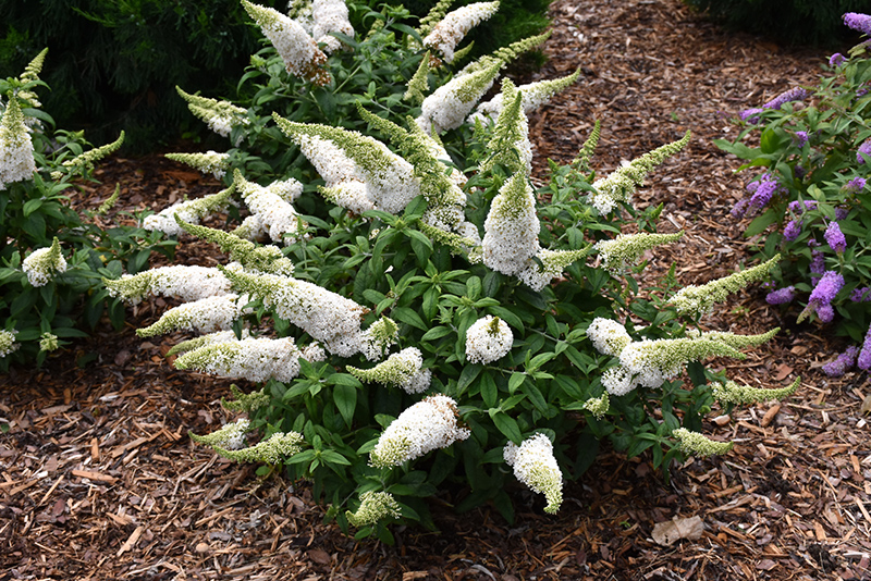 Pugster 174 White Butterfly Bush Buddleia Smnbdw In