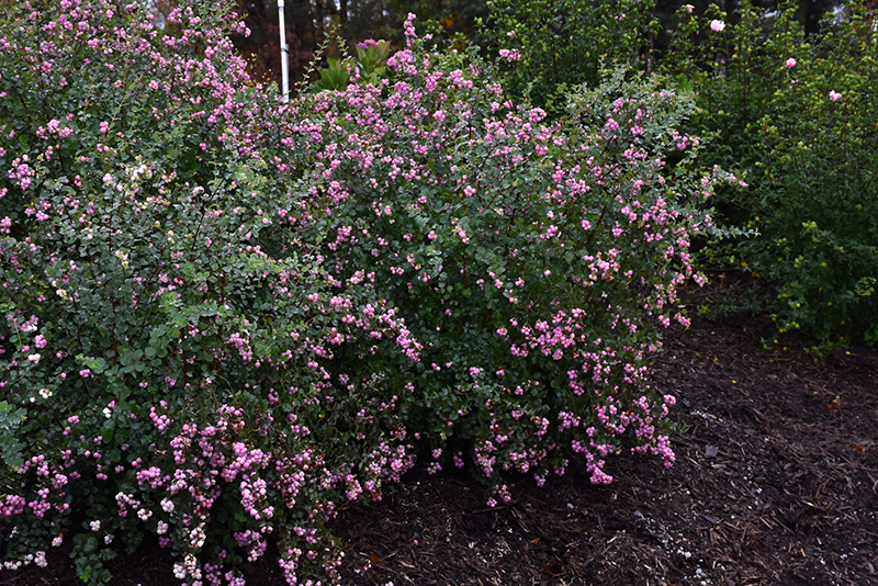 Proud Berry Coralberry (Symphoricarpos 'Sofie') at Weston Nurseries