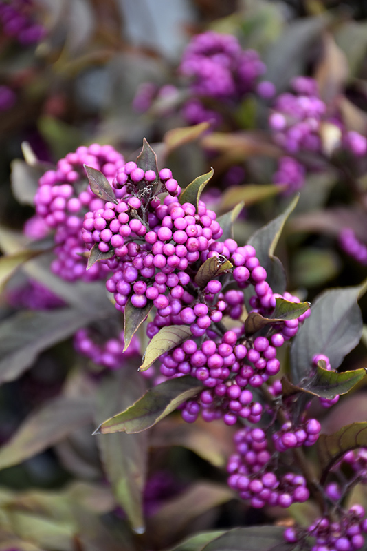 Pearl Glam Beautyberry (Callicarpa 'NCCX2') at Weston Nurseries