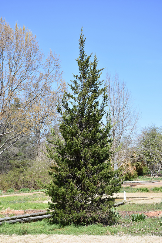 Eastern Redcedar (Juniperus virginiana) at Weston Nurseries
